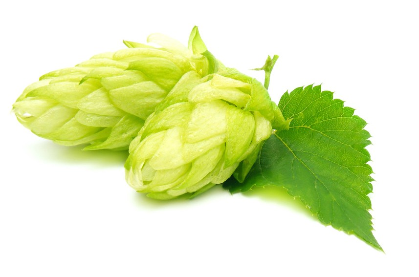 Hops - The Grapes of Beer!